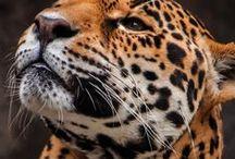 Felidae / Big Cats
