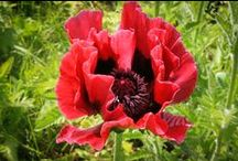 Poppies / Images of Poppies in 2014