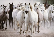 Horses / The most beautiful creatures, in form and character, on God's green earth. / by Philip Low