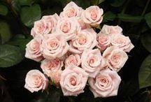 Valentine's Day Fresh Flower List / Some of our favorite flowers for Valentine's Day. / by R.J. Carbone Cranston