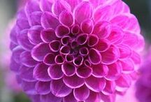 Wholesale Dahlias Are The Perfect Summer Flower