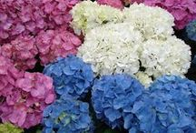 Hydrangea Flowering Plants / Hydrangeas will make any flower design stand out!