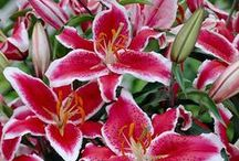 Fragrant Wholesale Oriental Lilies / We love our stargazing and uplifting Oriental Lilies.  Not only are they beautiful, but Oriental's fragrance is oh so heavenly!