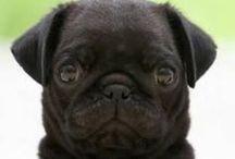 Pugs.
