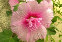 Hollyhocks / I loved these when I was a child, especially making dolls out of them...back then, it seems they were thought of as a nuisance flower or a weed. / by Mickey Betz