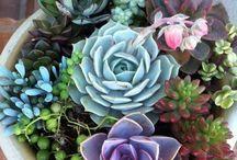 Jardins / Mini Jardins Flores Mudas para apartamento  Chás