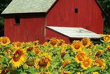 Sunflowers / by Gloria Erickson