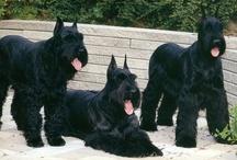 dogs / Amo a los perros en especial a Mis mejores acompañantes, Rocco y Ninette mis Schnauzer Gigante, ;);)