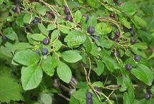 Huckleberries Galore / Anyone who loves Huckleberries, obsesses huckleberries ;)  / by Danie Zepeda