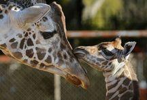 Giraffes / by Kylena Branan