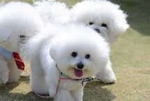 Bichons!! / I love these dogs. / by Kelly College