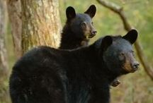 Eastern Woodland Wildlife, Past & Present / Animals of the eastern woodlands, USA.
