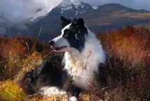Border Collies / Celebrating these marvelous herding dogs. Might let a few other breeds slip in too. :)