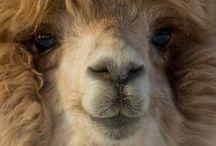 Llamas / Alpacas / llamas | alpacas | guanacos | vicuñas | camels