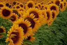 Sunflowers / I wish for sunflowers everyday!