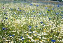 English Meadow / Collection of items and images which remind me of English meadow in the summertime
