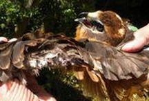 Umweltkriminalität / Die Fälle von Verbrechen an unserer Natur häufen sich. Greifvögel werden vergiftet oder verenden in Schlagfallen, streng geschützte Tierarten wie der Luchs werden erschossen, ganze Lebensräume werden angezündet und gezielt vernichtet.