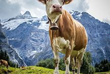 I want to be a cow