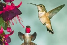 Hummingbirds / Hummingbirds (Trochilidae) are among the smallest of birds (7.5–13 cm). The smallest is the 5cm Bee Hummingbird. They can hover in mid-air by rapidly flapping their wings 12–80x/second. They are called hummingbirds because of the humming sound created by their beating wings. To conserve energy while they sleep or when food is scarce, they have the ability to go into a hibernation-like state. They are the only with the ability to fly backwards. They can fly at speeds exceeding 15 m/s (54 km/h) / by Catherine Manoli