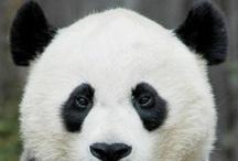 Panda ♥♥♥♥♥ / by Kay Marie