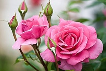 Roses / by Shaleen Parmenter McLaren