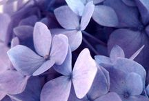 floral . HYDRANGEA / by Denise Mares