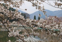 Sakura in Suzaka