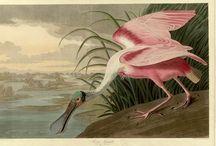 Art Of Audubon / Genius Naturalist / by Karen McCreary