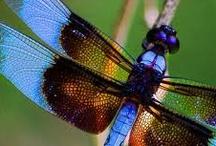 Dragonfies galore / I love dragonfies.