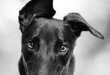 Greyhounds/sighthounds