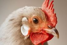 Chickeria / All about living with chickens