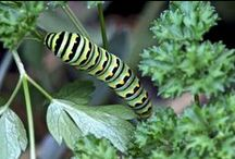 Butterflies, Bees, Caterpillars & Insects in my Urban (NYC) Garden