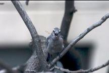 Bluejays in Trees Near my Urban (NYC) Garden