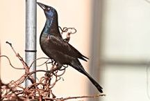 Common Grackles in my Urban (NYC) Garden & the Trees Surrounding It