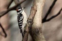 Woodpeckers (Downy): Visitors to my Urban (NYC) Garden & Trees in Adjacent Courtyard