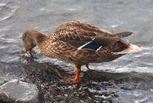 Ducks In OR Alongside the Hudson River