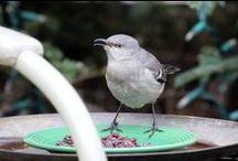 Northern Mocking Birds (Mostly Harper) in my Urban (NYC) Garden OR in the Adjacent Courtyard
