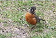 American Robins I Know (Not from my Garden!)