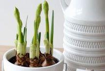 Bulbs / Spring bulbs and planting ideas