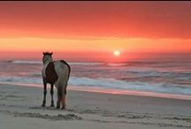 Outer Banks Wildlife / The Outer Banks if full of wildlife. From wild horses to dolphins, you can find everything on The Outer Banks!