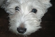 For the LOVE of WESTIES and SCOTTIES / by Nicole Csonka (Zroback)