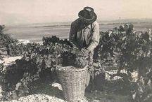 Viñas y Vendimia / Vineyards and Harvest