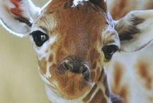 Baby giraffes / Some of the most glamorous animals around the world are giraffes.
