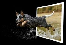 Australian Cattle Dogs / by Pat McCambridge