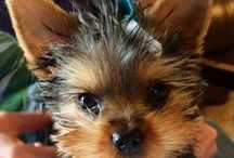 My Cooper and other Yorkies / by Rhonda West