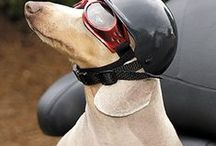 Biker Dog Apparel & Accessories / Is your Yorkie a Biker at Heart?  Does your pug yearn to hit the road on a Harley?  We have the latest doggie biker threads that are sure to please any biker.  Hop on your motorcycle chopper in a doggie leather jacket, accessories with a tough dog collar. He/she will be styling!