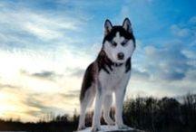 Siberian Husky / I love my Siberian Husky, Yukon... and wanted to share pics! Share your Husky pics, stories, and more!