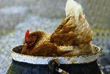 Chicken Love...