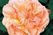 'Rose's' N The Garden...