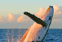 鯨に出会うマウイ島のオールドタウン / マウイ島/ハワイ